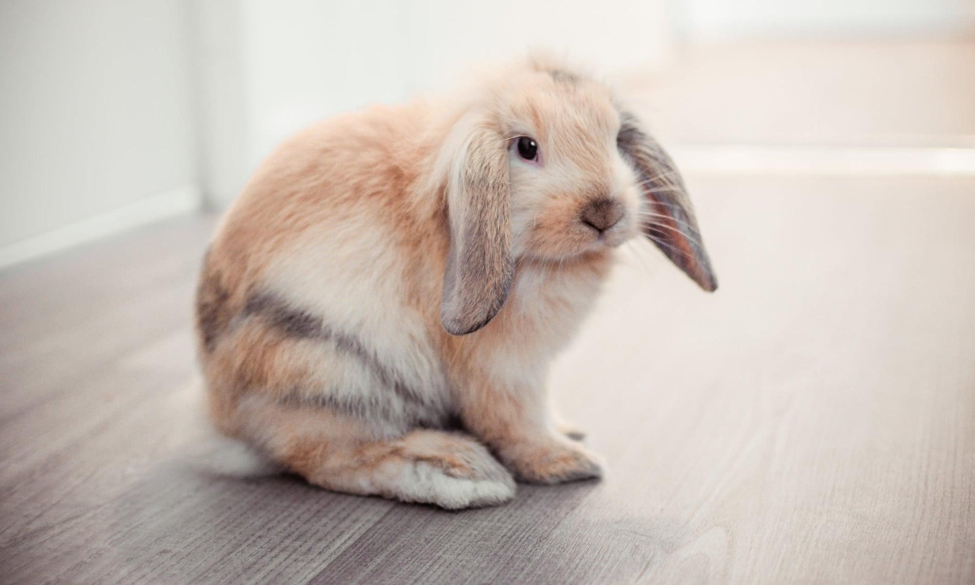 Rabbit relaxed at University Pet Resort in Merced