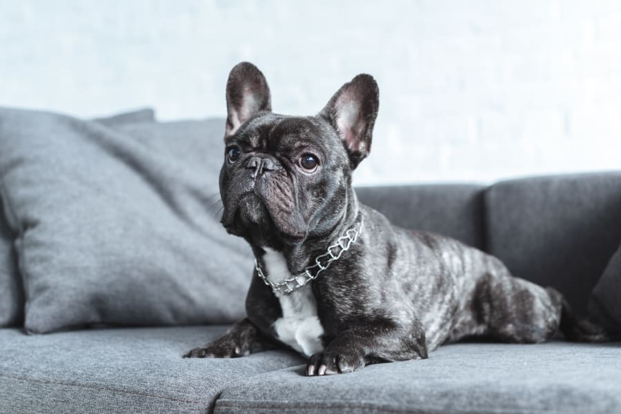 French Bulldog sitting on a couch at Cantabria at Turtle Creek in Dallas, Texas