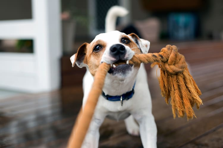 Dog playing with a rope toy at Carrington Apartments in Fremont, California