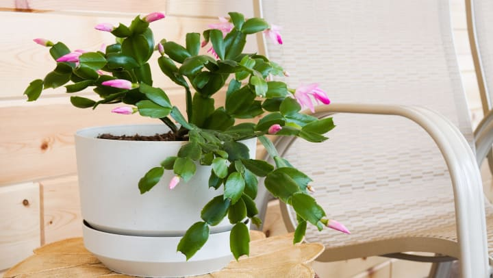 A Thanksgiving cactus blooming inside a white ceramic pot, sitting on top of a woven placemat next to a chair.
