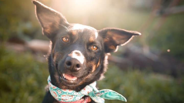 Mixed-breed dog wearing a bandana