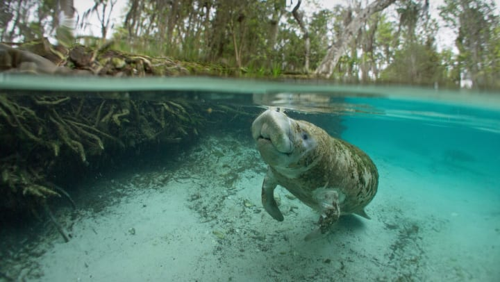 A manatee floating through the water in Florida