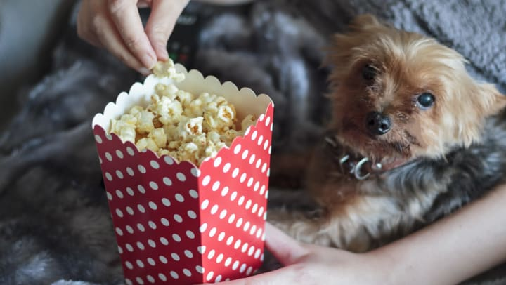 Closeup of hands holding popcorn, next to a dog wrapped in a warm blanket.