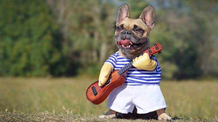A Frenchie wearing a costume that looks like he is playing the guitar at Carrington Oaks