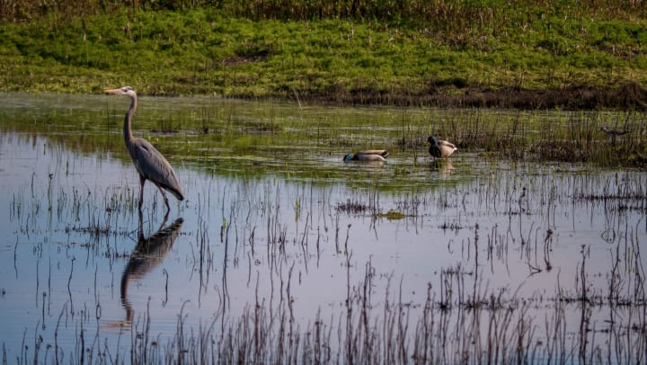 Great blue heron at a body of water with ducks and a killdeer in the background, behind the reeds.