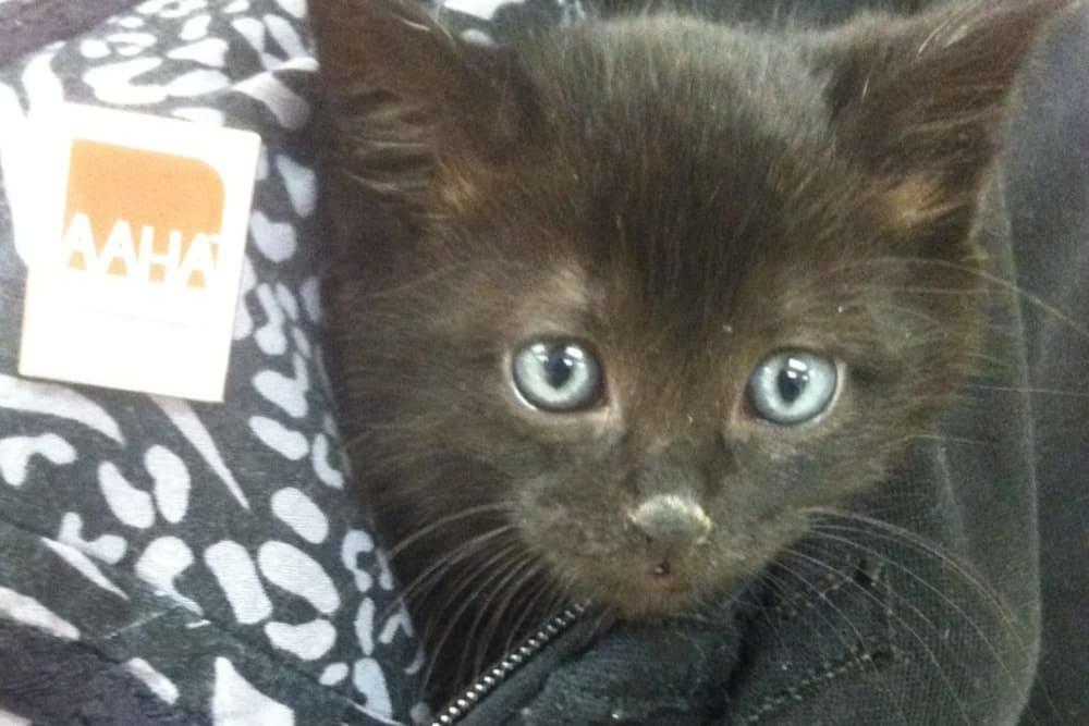 Kitten in treatment at Angeles Clinic For Animals in Port Angeles, Washington