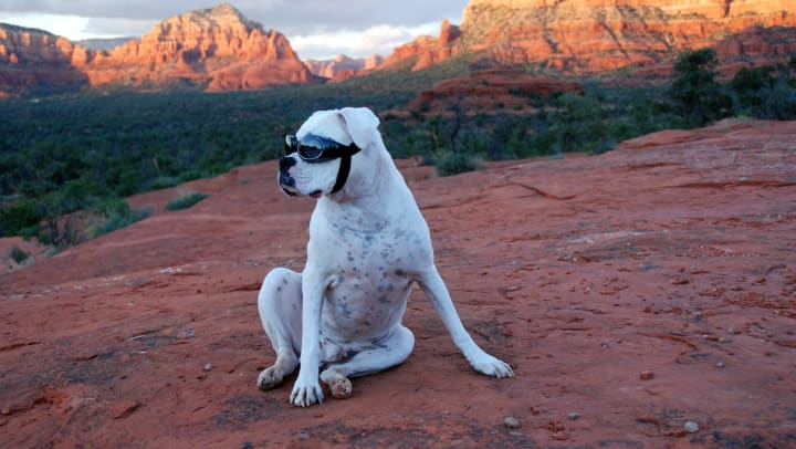 Dog outfitted with sunglasses so she can enjoy the sunset near Vive in Chandler, Arizona