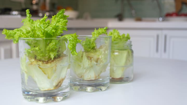 Lettuce in cups at Mirador Stovall at River City in Jacksonville, Florida