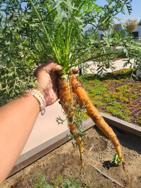 A pair of fresh carrots from the garden!