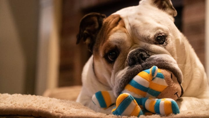 Happy pup with a new toy from a subscription service in his apartment home at Sundance Creek in Midland, Texas