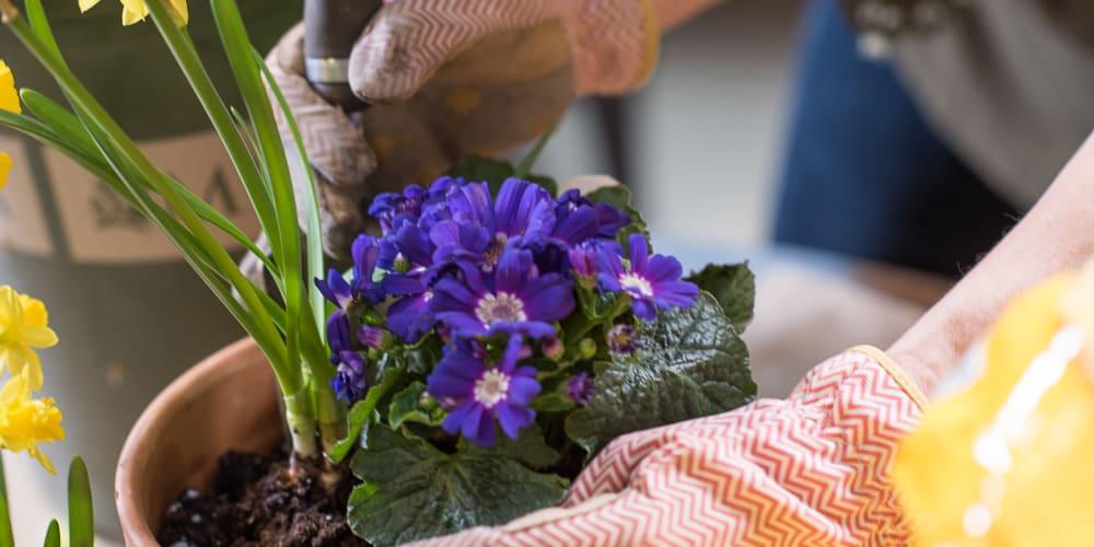 Resident gardening at The Springs at Tanasbourne in Hillsboro, Oregon