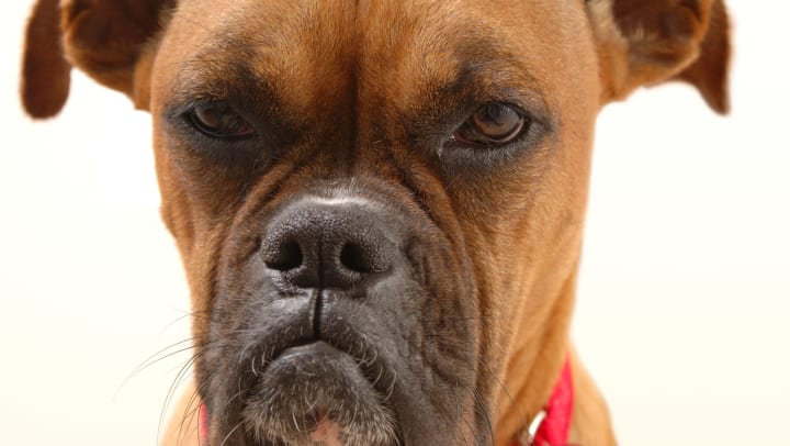 An angry-looking boxer dog