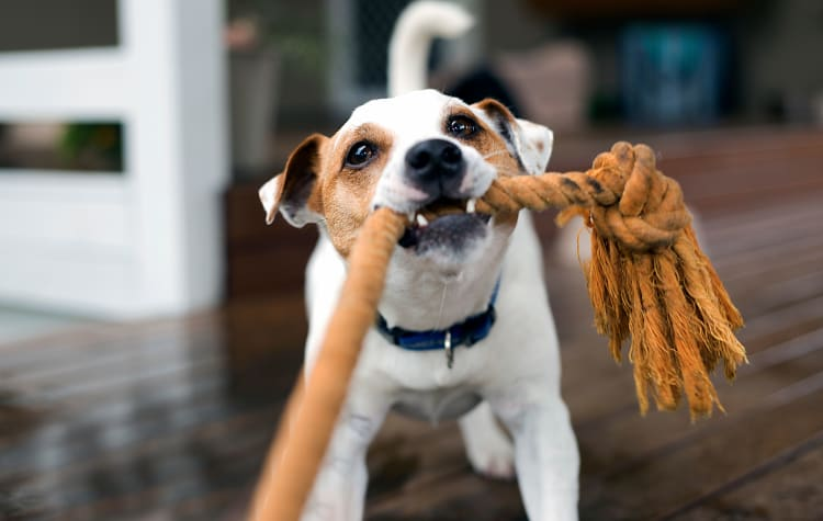 Dog playing with a toy at Castlewood Apartments in Walnut Creek, California