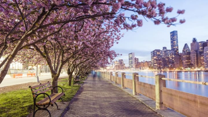 Cherry blossom trees line a sidewalk on Roosevelt Island in New York.