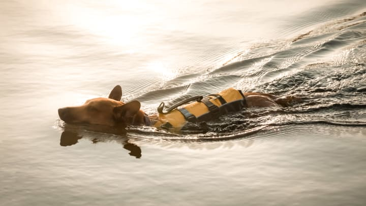Adventurous dog swimming with a life vest on in a lake near Sedona Ranch in Odessa, Texas