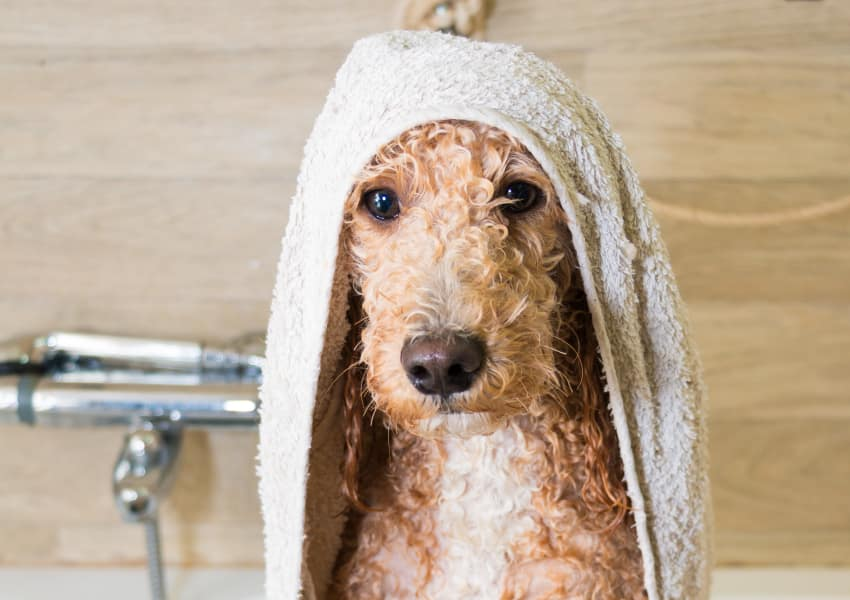Cute dog after his bath at North Square Apartments at The Mill District in Amherst, Massachusetts
