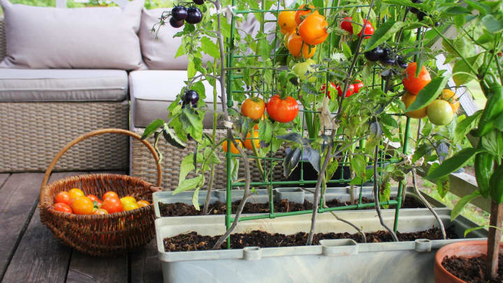 Tomato plants growing on a deck next to a basket full of tomatoes and white patio furniture.