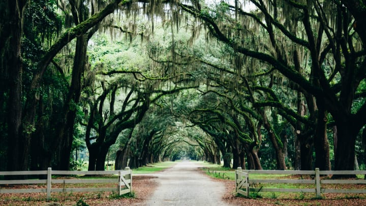 Beautiful archway created by mature oak trees over a country road near The Slate in Savannah, Georgia