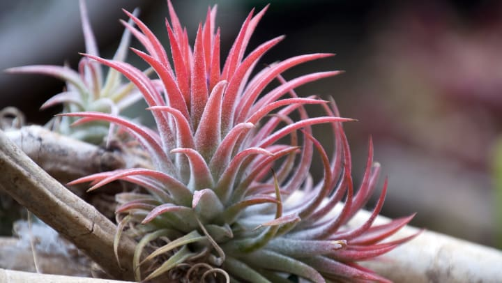 Photo of a thriving air plant at Olympus Las Colinas