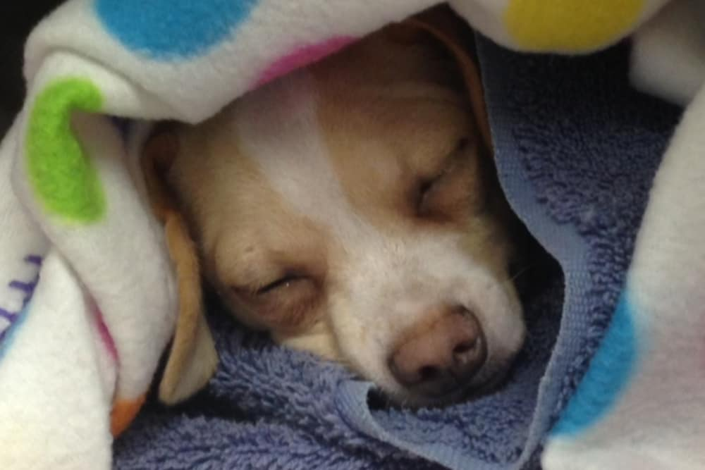 Puppy sleeping at Angeles Clinic For Animals in Port Angeles, Washington