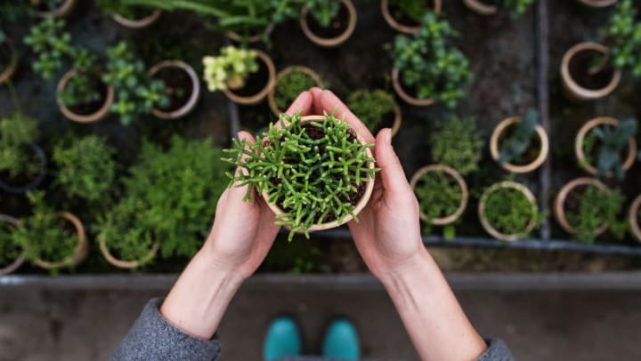 Person holding a plant in a small pot over a shelf full of plants in pots.