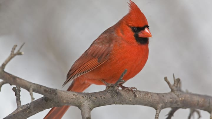 Male red cardinal bird sitting on a branch.