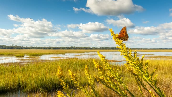 A gulf fritillary butterfly flutters around the blooms on the edge of a salt marsh on St. Simons Island, Georgia
