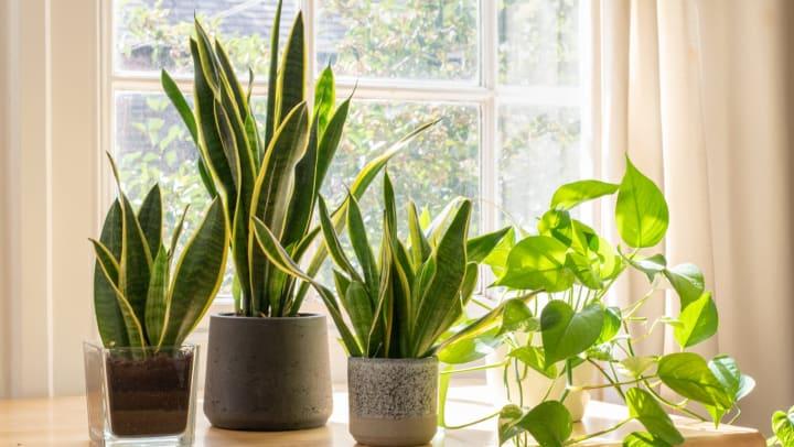 Indoor houseplants next to a window.
