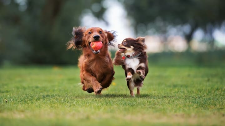 Two dogs enjoying a play date at a dog park near Redstone at SanTan Village in Gilbert, Arizona.