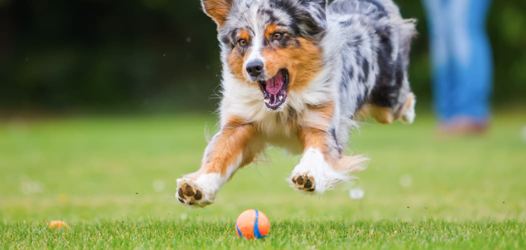 Dog playing fetch at Sienna Heights Apartment Homes in Lancaster, California