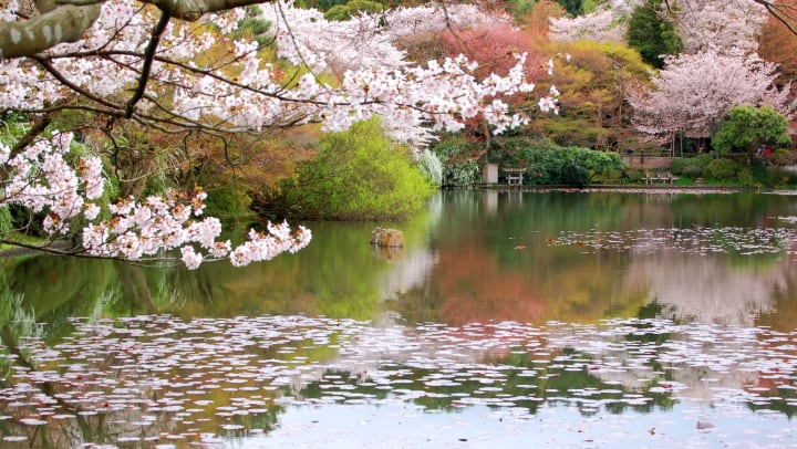 Cherry blossom trees with the petals floating in a pond beneath the tree.