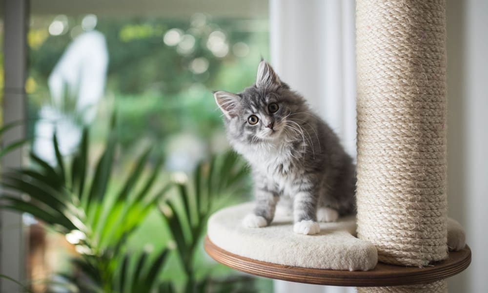 Cute kitten on her play palace posing for a photo at The Landings at Steeplechase in Houston, Texas