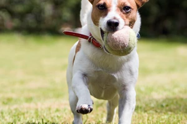 Dog carrying tennis ball at Club at Stone Oak