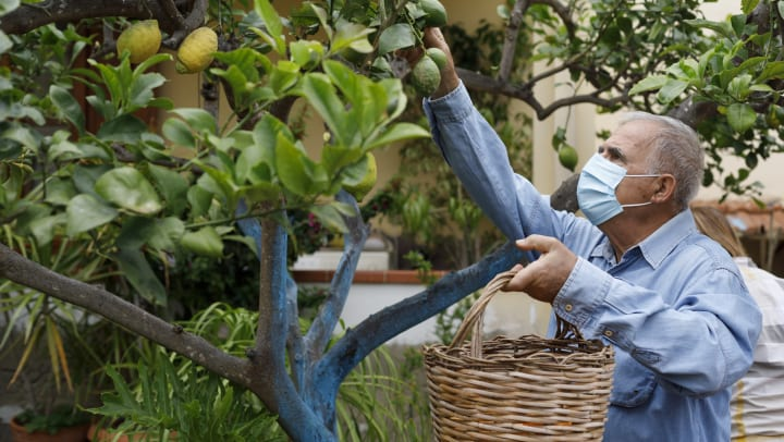 Elderly man wearing mask picking limes from a tree while holding a basket