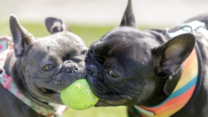 Two French bulldogs wrestle over a tennis ball in an outdoor play space.