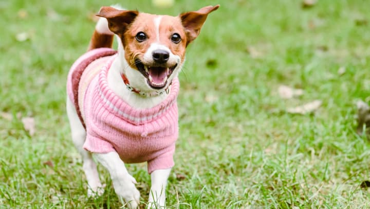 Small dog wearing pink knit sweater