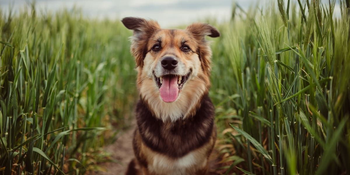 Happy dog standing in a field near Enclave at Woodland Lakes in Conroe, Texas