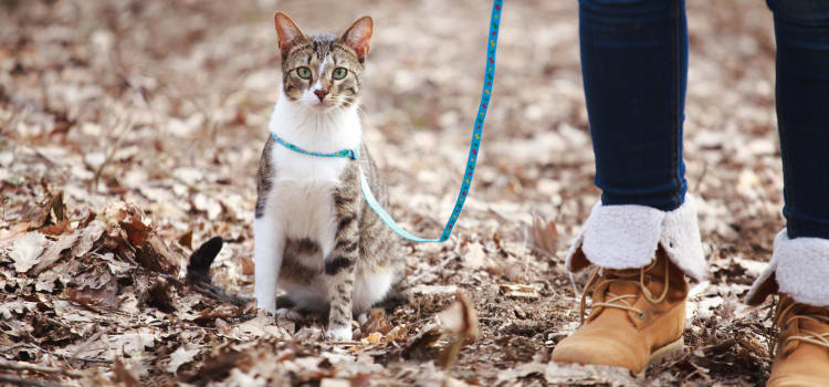 Cat out on a walk with their owner at FalconView in Colorado Springs, Colorado