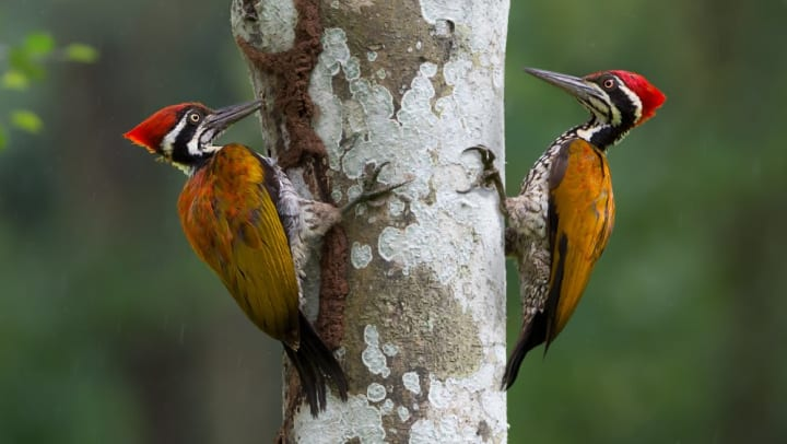 Pair of woodpeckers on a tree at the Trinity River Audubon Center near Olympus Las Colinas in Irving, Texas