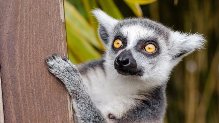 Lemur clinging to its habitat at the Jacksonville Zoo near The Hawthorne in Jacksonville, Florida