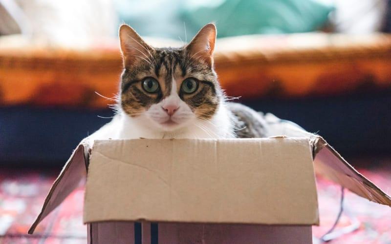 Happy cat in a box in her new home at L'Estancia in Studio City, California