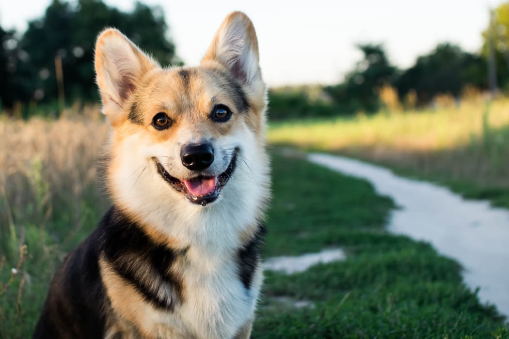 Happy corgi at Villas at Stonebridge in Edmond, Oklahoma