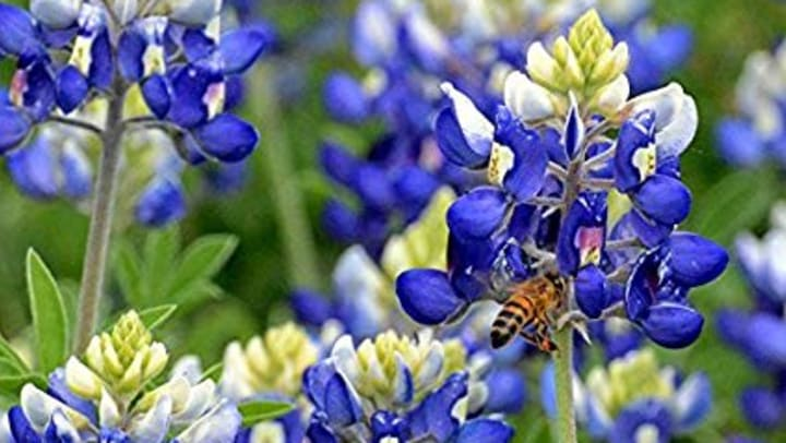 Bluebonnet Season in Texas