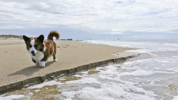 A corgi walking on the beach