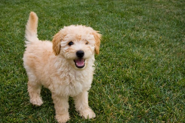 A labradoodle puppy wanting to play at Ballantyne Apartments