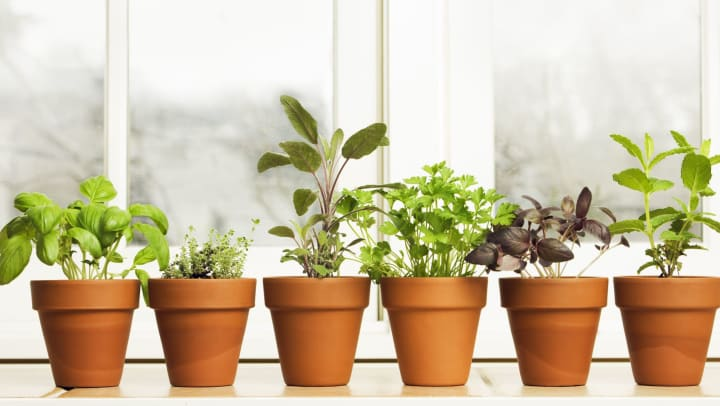 Selection of potted herbs from a home garden at Olympus at the District in South Jordan, Utah