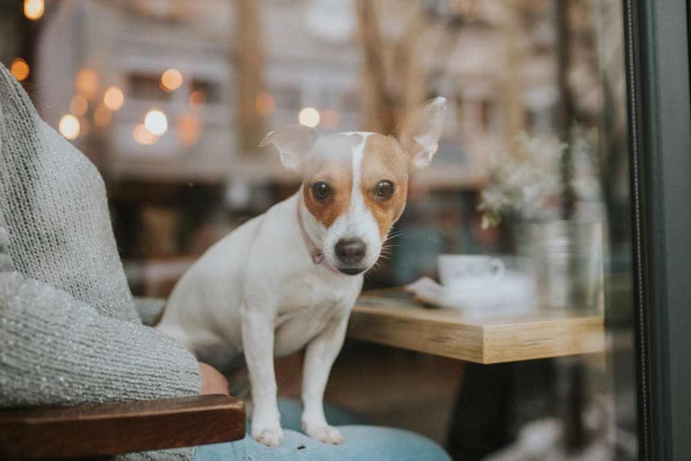 Cute puppy staring out the window at a nearby coffee shop from The Ventura in New York, New York