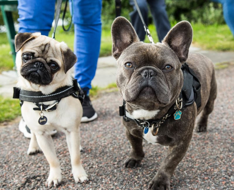 Two French Bulldogs enjoying a walk at Meadows at Marlborough in Marlborough, Massachusetts