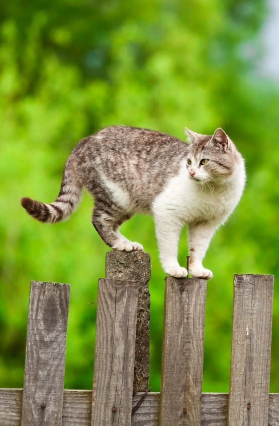 Cat on a fence at Civic Feline Clinic in Walnut Creek, CA