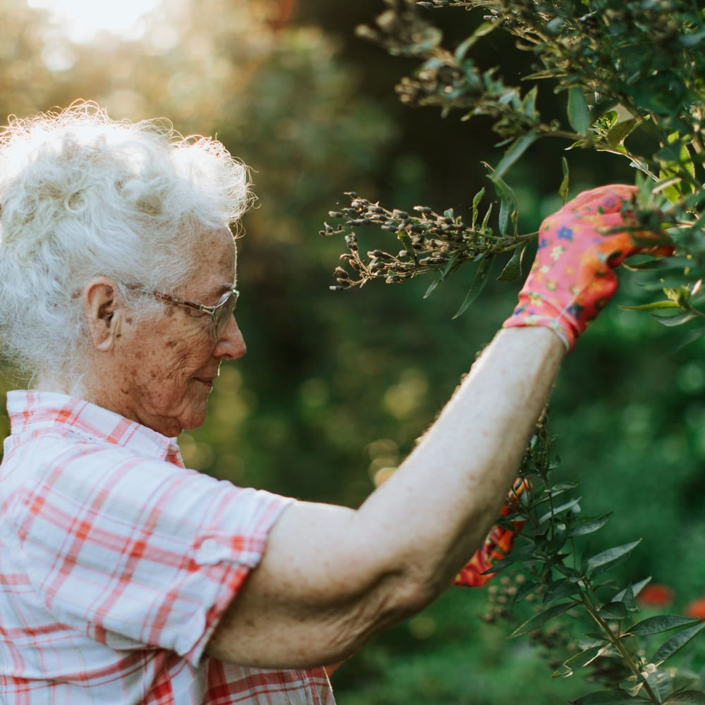 Resident picking berries in the morning at Randall Residence of Auburn Hills in Auburn Hills, Michigan